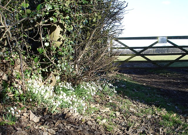 Snowdrops on Binbury Lane