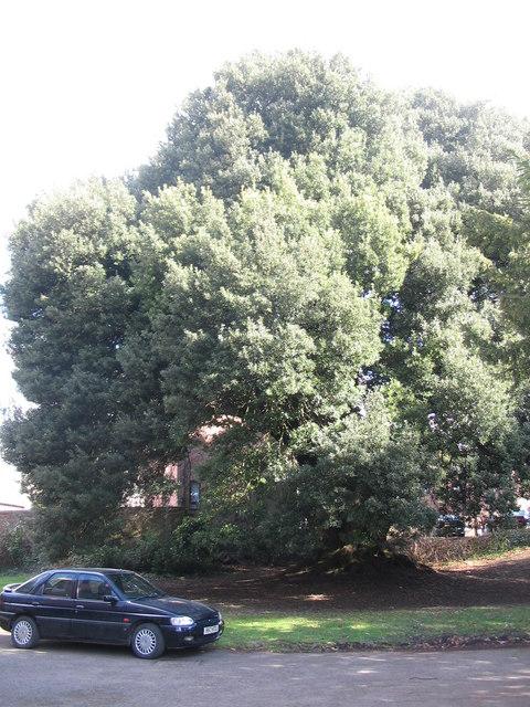 Holme Oak