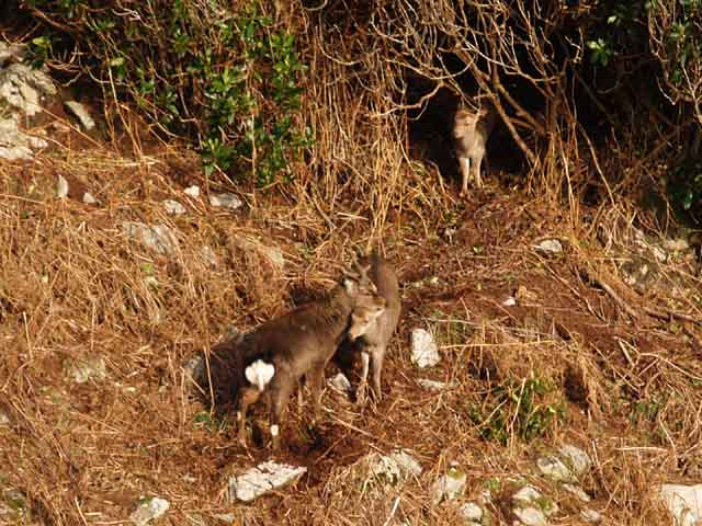 Sika Deer, East Sidelands, Lundy