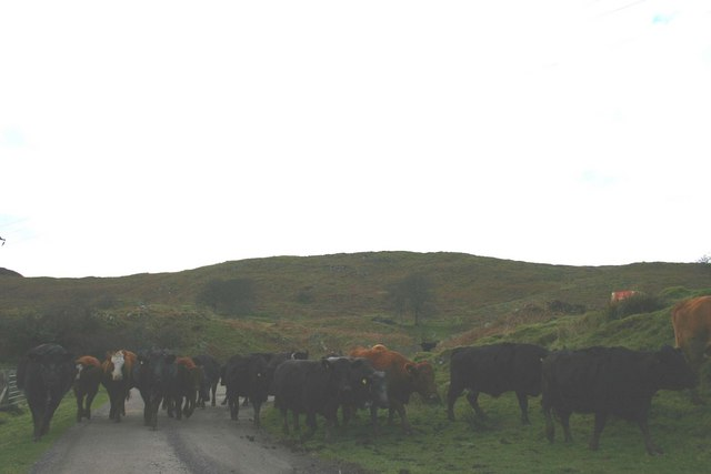 Cattle rush on the B8025.