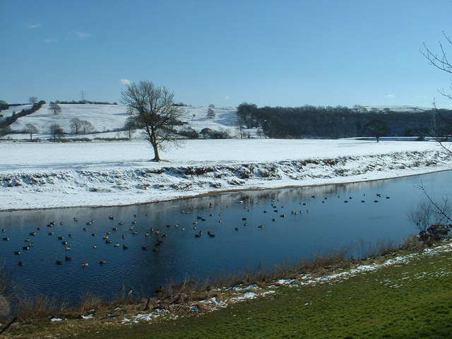 Canada Geese on the Ribble