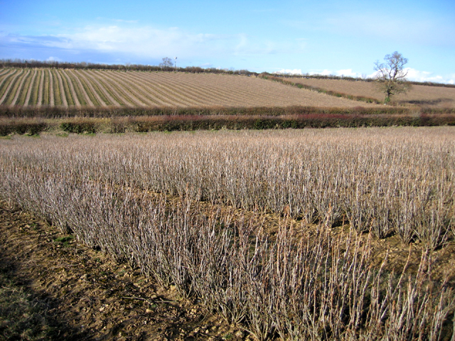 Blackcurrant fields in winter, Stoke-sub-Hamdon, Somerset
