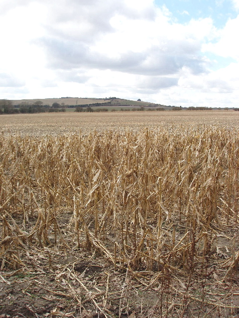 Maize for game birds, view to Barbury Castle