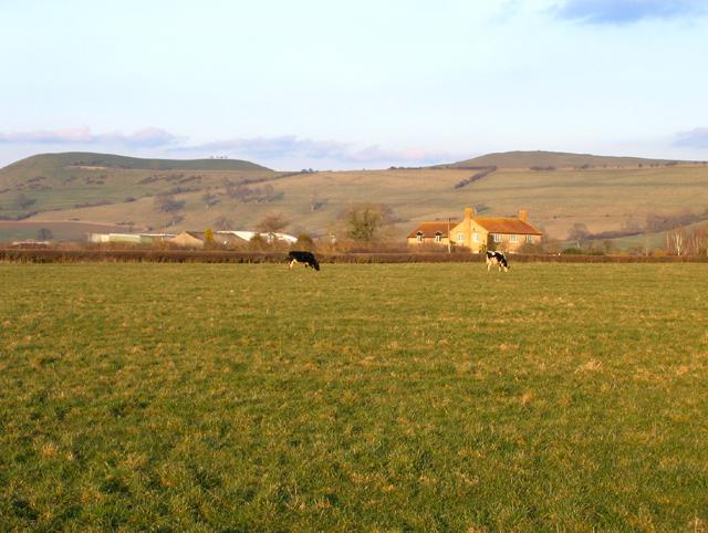 Two Holsteins grazing in Marston Magna, Somerset