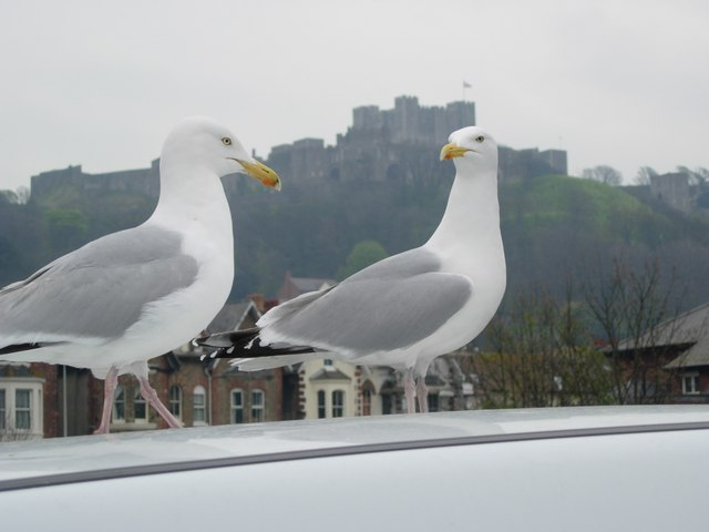 Dover (Kent) - Castle and seagulls