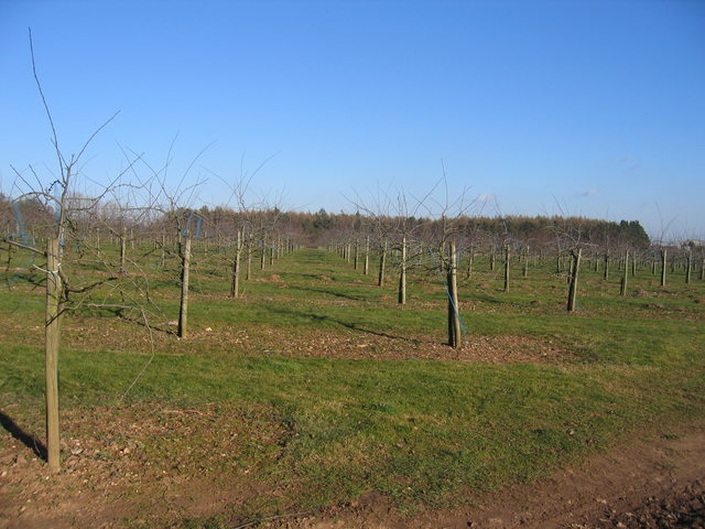 New orchards near Weethley Gate