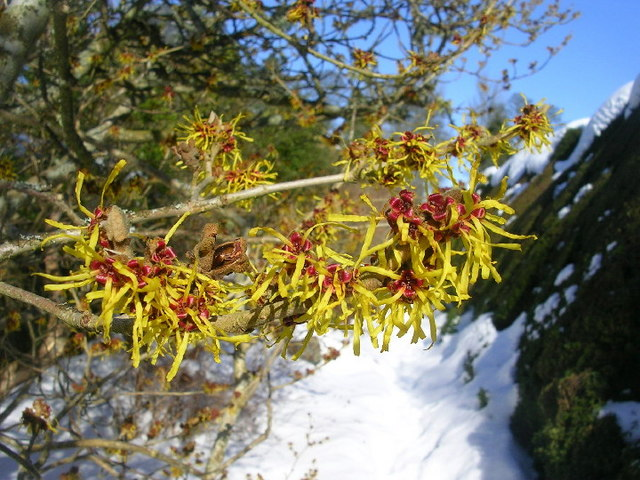 Chinese Witch Hazel at Crathes Castle Gardens