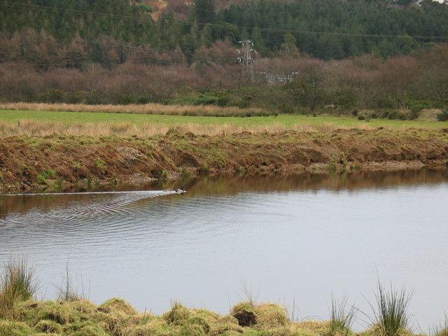 Mallard ducks on trout pond, Rhonadale.