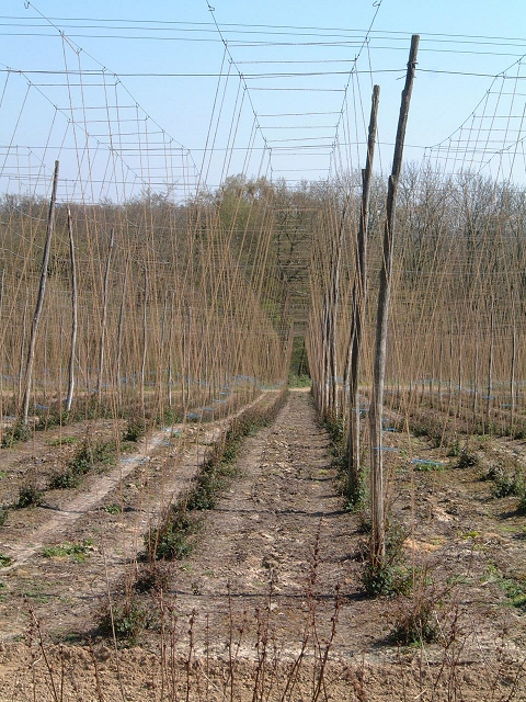 Hop Garden near Witherenden