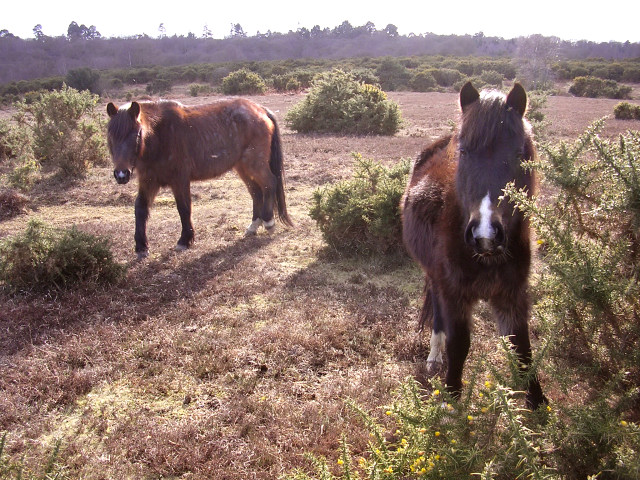 Ponies on Blackwell Common, New Forest