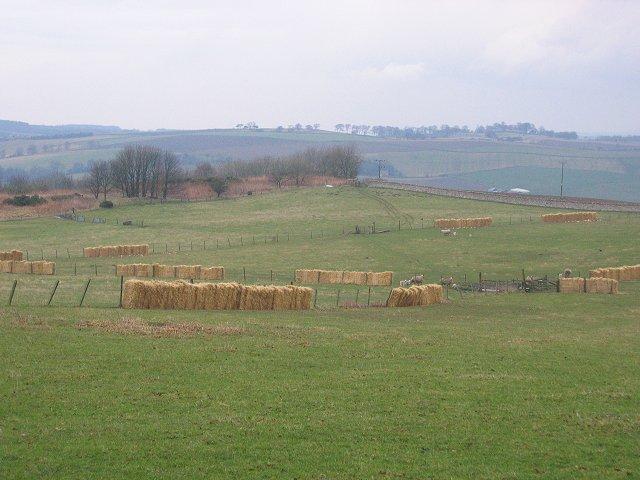 Lambing, Halkerston.