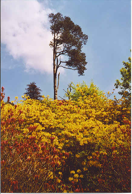 Lonesome Birch, Leith Hill Rhododendron Wood.