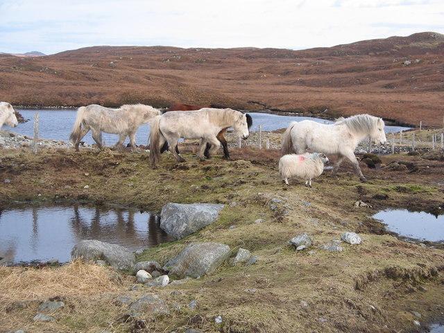Highland Horses, Isle of Lewis