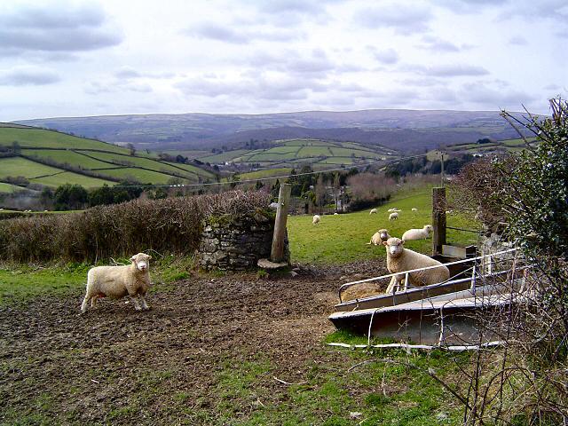 Sheep on Yolland Hill - Devon