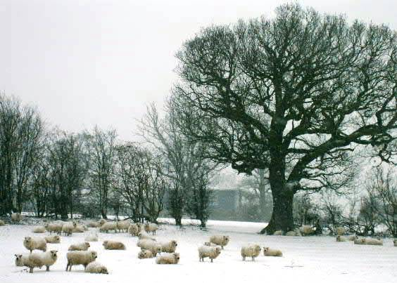 Sheep and early morning snow