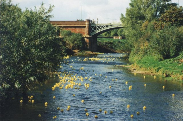Charity duck race on the Teme at Powick
