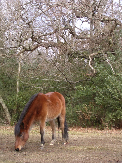 Pony grazing in Bignell Wood, New Forest