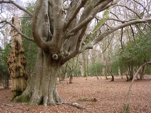 Pollarded beech tree in Bignell Wood, New Forest