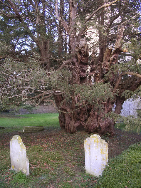 The ancient yew tree in All Saints churchyard, Upper Farringdon