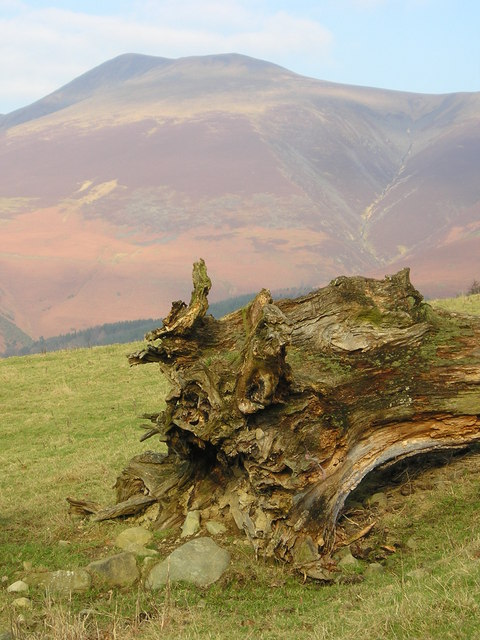 Felled tree with Skiddaw in the distance