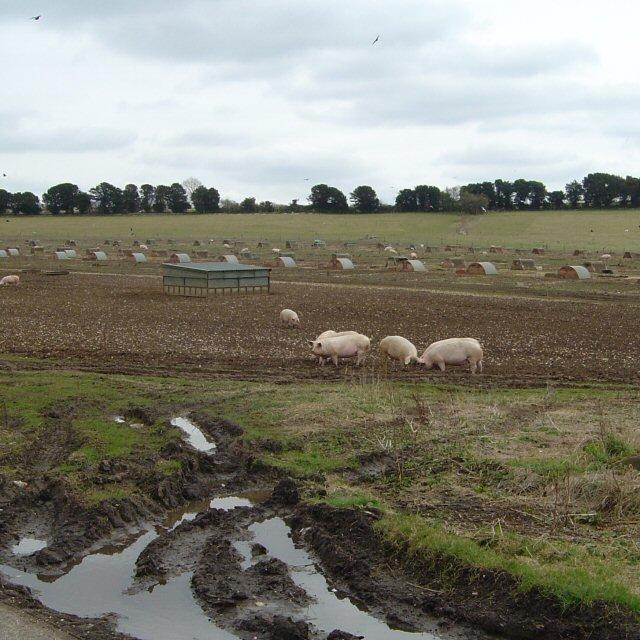 The pigs of SU5521