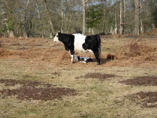 Cattle near Home Farm