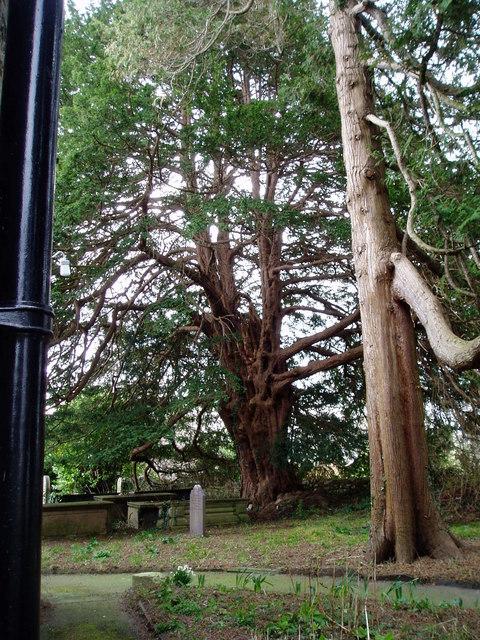 Yew at Llanynys Church