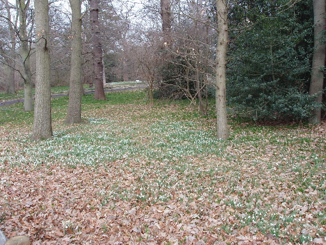 Snowdrops, conservation area, Kew Gardens
