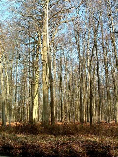 Lots of Trees !  Ashridge