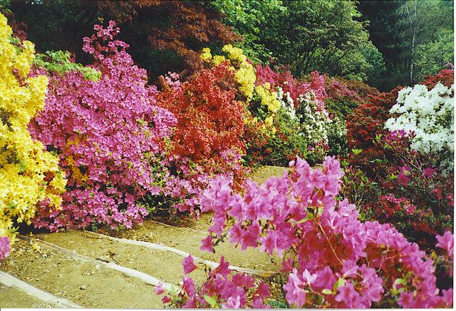 Azaleas at Winkworth Arboretum.