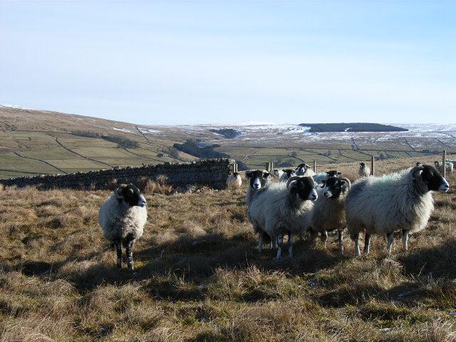 Sheep above Garrigill