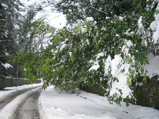 Snow laden branches at Duck Bay, Loch Lomond.