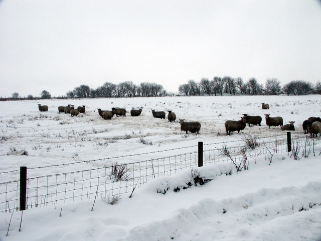 Sheep at Greenknowes