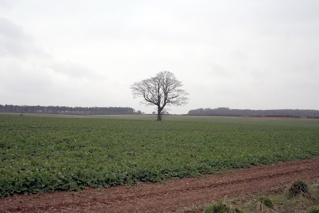 Solitary tree in a field