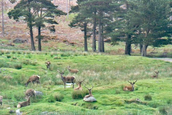 Deer in Pinewoods nr Invercauld House