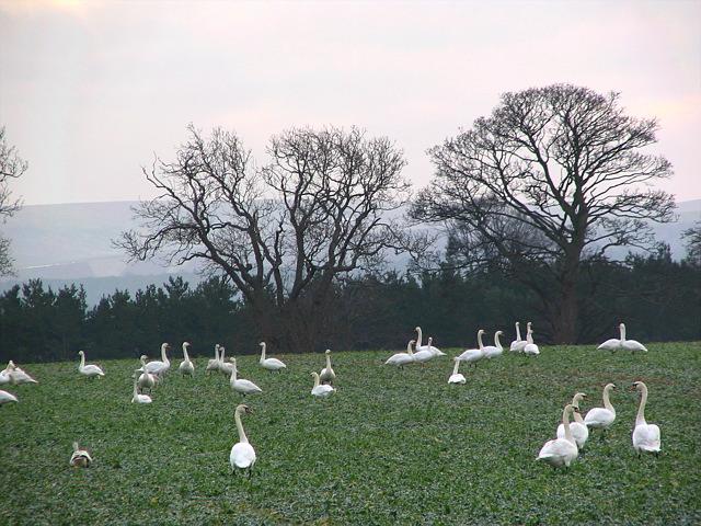 Swans near Hedderwick