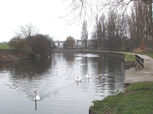 Swans on the River Lea, South Tottenham