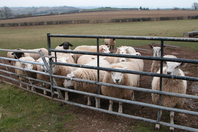 Sheep at Upper Monkton Farm