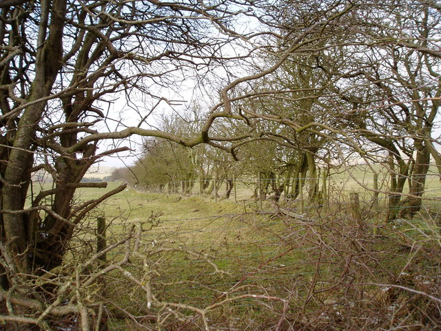 Hedge near Rhoslydan