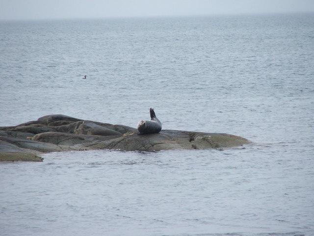 Seal near Ronachan Point.