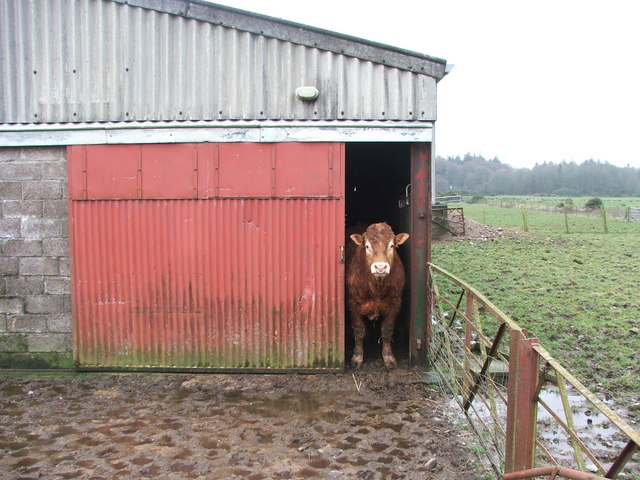 Bull in barn at Saddel.