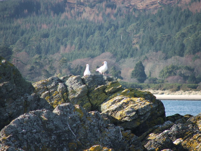 Gulls on rocks at Carradale.