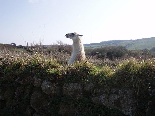 Llama at Trevarrack