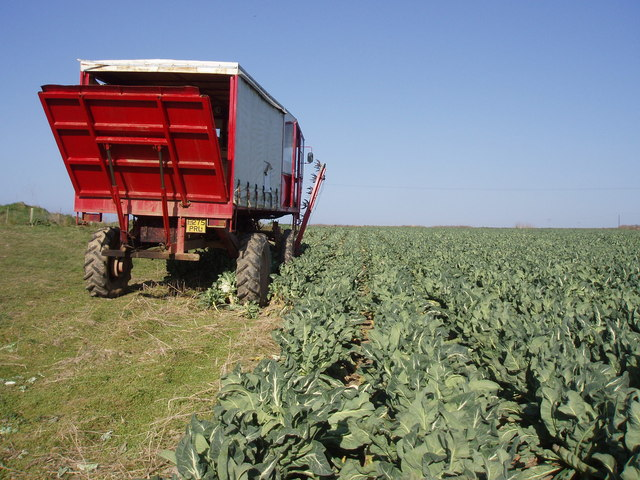 Vegetable packer in cauliflower field