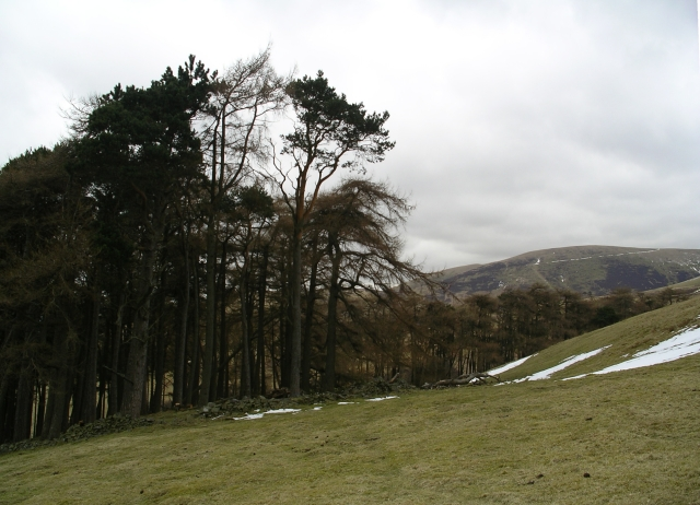 Pines and larches above Burnhead Farm