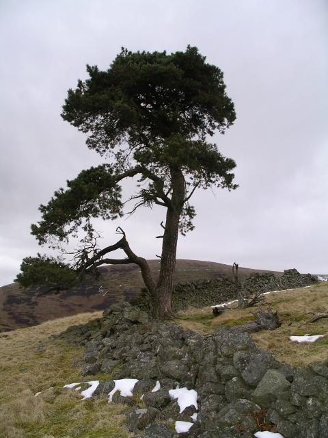 Scots pine, Crow Wood.