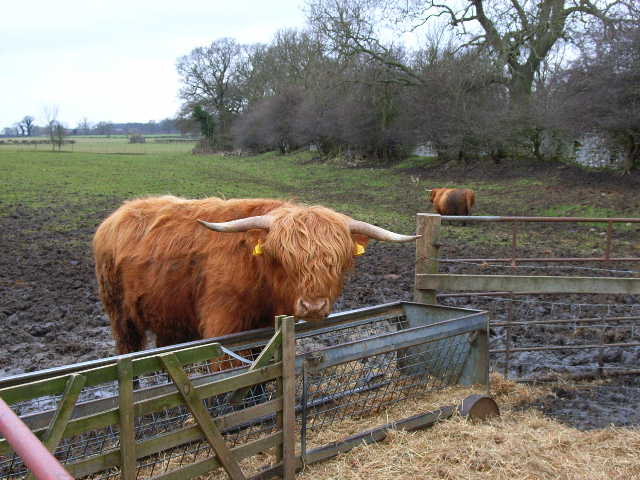 Highland Cattle, Burton Park