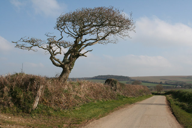 Bocconoc: tree by the entrance to Hill Farm