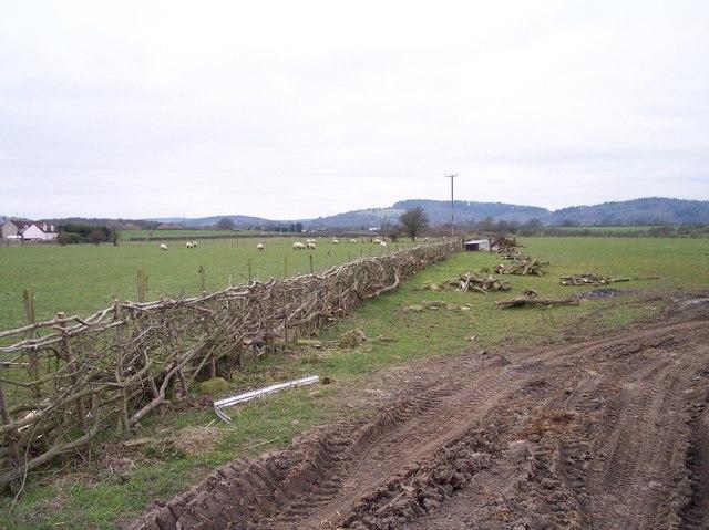 Freshly Laid Hedge