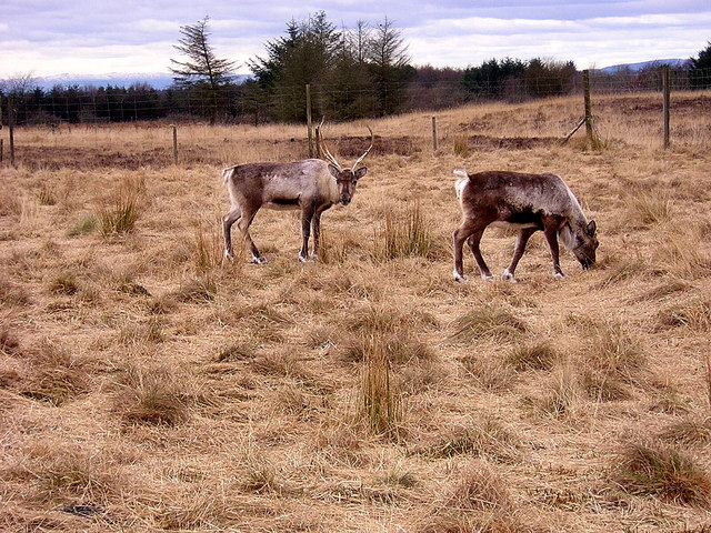 Reindeer at Palacerigg Country Park